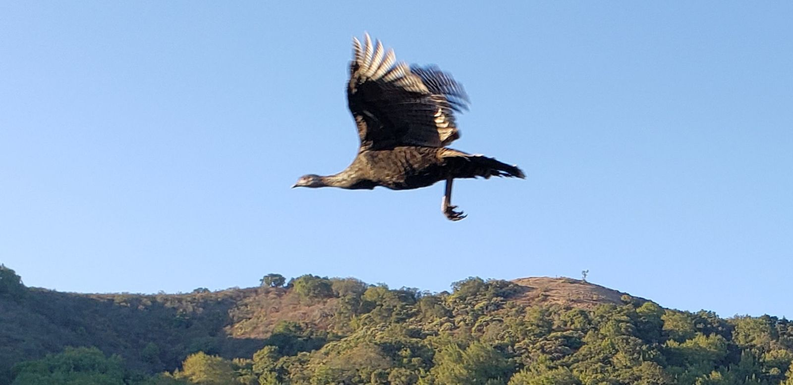 80-turkey_flying_f3031dce3ae1192f817f7a1cf2c81104d8b42135.jpg